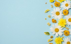 Picture flowers, chamomile, white, chrysanthemum, yellow, flowers, background, blue background, camomile, floral