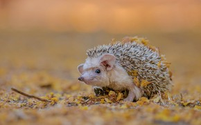 Picture autumn, white, look, leaves, nature, background, muzzle, hedgehog, ears, eared, hedgehog, bokeh, autumn, hedgehog, hedgehog