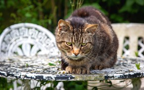 Picture cat, summer, cat, look, face, nature, pose, table, grey, chairs, portrait, chairs, sitting, striped, green …