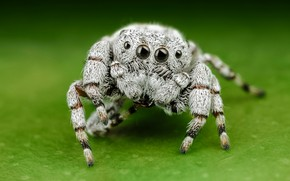 Picture white, eyes, macro, pose, green, background, legs, light, spider, hairy, jumper, jumper, spider, wool, sakunik, …