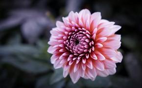 Picture background, petals, Bud, Dahlia