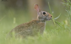 Picture grass, nature, hare, chews, DUELL ©