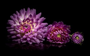 Picture reflection, lilac, Dahlia