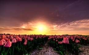 Picture field, the sun, clouds, light, sunset, flowers, beauty, the evening, horizon, tulips, straw, pink, the …