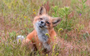 Picture grass, face, Fox