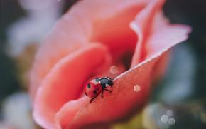 Picture flower, macro, nature, ladybug, beetle, bokeh, Smirnova Olga