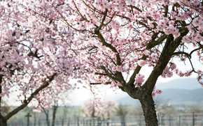 Picture trees, flowers, branches, nature, cherry, spring, Sakura, pink, flowering, a lot, blooming, in bloom, rich, …