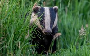 Picture grass, face, portrait, badger