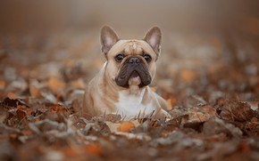 Picture autumn, look, foliage, portrait, dog, face, bokeh, French bulldog