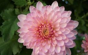 Picture autumn, flower, chrysanthemum, Meduzanol ©