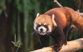 Picture language, pose, background, red Panda, log, red Panda