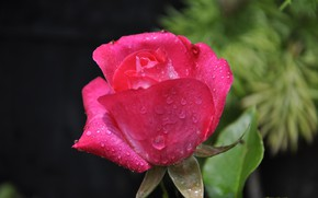 Picture leaves, drops, close-up, rose, wet, Bud, bokeh