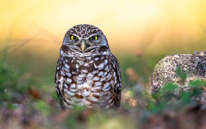 Picture grass, nature, owl, bird, feathers, bokeh, Burrowing Owl