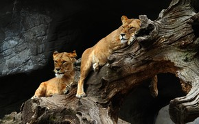 Picture look, pose, the dark background, stones, tree, stay, two, pair, snag, wild cats, lioness, zoo, …