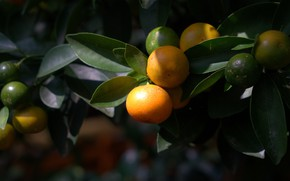Picture leaves, branches, nature, the dark background, fruit, fruit, tangerines, citrus