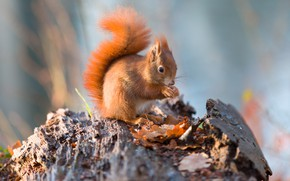 Picture nature, pose, protein, red, log, sitting, rodent