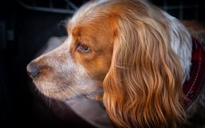 Picture dog, muzzle, profile
