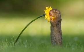 Picture flower, grass, yellow, pose, glade, gopher, green background, stand, rodent, closed eyes