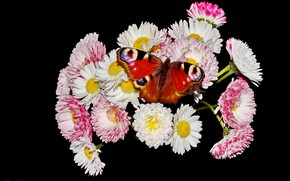 Picture macro, flowers, butterfly, Daisy