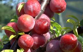 Picture summer, fruit, plum