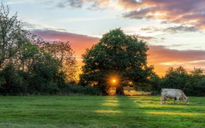 Picture field, sunset, cow