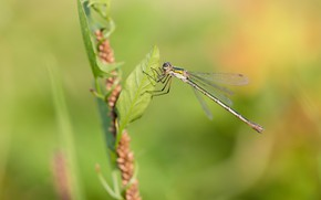 Picture macro, insects, nature, dragonfly, liutka bride
