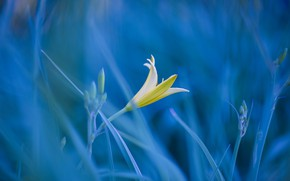 Picture flower, grass, photo, Lily