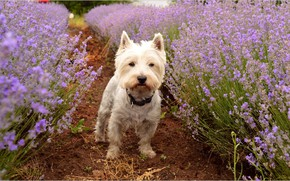 Picture Dog, Lavender, Lavender, The West highland white Terrier