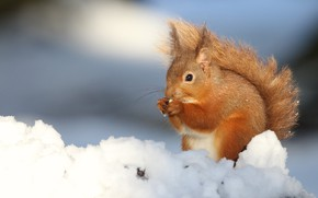 Picture winter, snow, protein, red, blue background, rodent