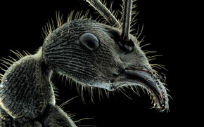 Picture insect, hairs, teeth, ant