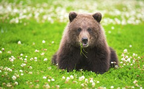 Picture grass, look, flowers, bear, meadow, clover, the Bruins