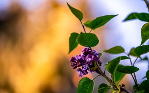 Picture nature, branch, flowering, lilac