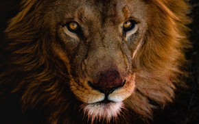 Picture eyes, look, face, close-up, background, dark, portrait, Leo, mane, wild cat, young, handsome, after lunch