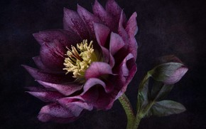 Picture background, hellebore, hellibore
