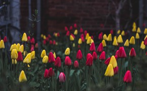 Picture nature, flowers, tulips