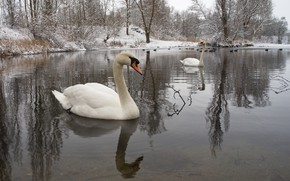 Picture winter, water, snow, birds, nature, pair, swans