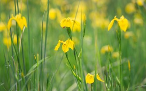 Picture greens, flowers, stems, glade, yellow, irises, bokeh