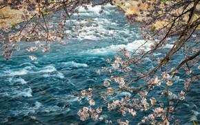 Picture branches, river, spring, Sakura, flowering, river, pink, blossom, sakura, cherry, spring, bloom