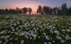 Wallpaper field, summer, the sky, trees, sunset, flowers, glade, chamomile, the evening, meadow, chamomile field