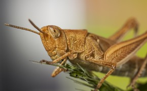 Picture macro, insect, grasshopper