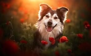Picture summer, each, Maki, dog