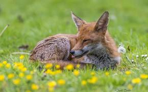 Picture flowers, meadow, Fox