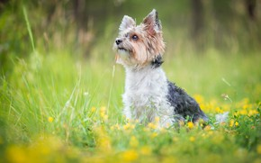 Picture greens, summer, grass, look, face, flowers, nature, pose, glade, portrait, dog, yellow, sitting, Yorkshire Terrier, …