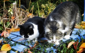 Picture autumn, leaves, cats, Board, two, pair