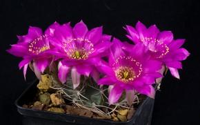 Picture flowers, cactus, black background, Purple flowers