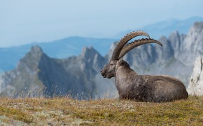 Picture grass, look, mountains, rocks, height, portrait, goat, lies, horns, profile, mountain, goat, mountain goat
