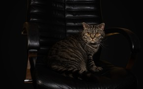 Picture cat, cat, look, pose, the dark background, grey, chair, leather, muzzle, striped, Scottish, Studio