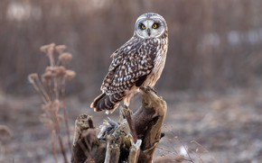Picture nature, background, owl, bird, snag, bokeh