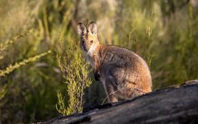 Picture look, kangaroo, cute