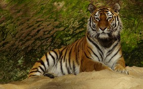 Picture look, face, tiger, pose, stone, paws, lies, wild cat, green background